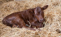 Jersey Calf Stock Photo