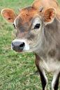 Jersey calf Royalty Free Stock Images