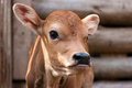Jersey calf portrait of a little Royalty Free Stock Photography