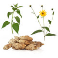 Jerusalem Artichoke Stock Photos
