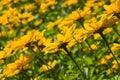 Jerusalem Artichoke, Sunroot, Topinambour, Earth Apple or Helianthus tuberosus yellow flowers backlighted Royalty Free Stock Photo