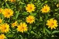 Jerusalem Artichoke, Sunroot, Topinambour, Earth Apple or Helianthus tuberosus yellow flowers close-up Royalty Free Stock Photo