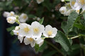 Jessamine beautiful flowerses jasmine as part garden plants Stock Images