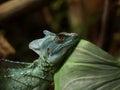 Jesus Christ Lizard Royalty Free Stock Photo