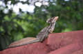 Jesus christ lizard a male enjoying the sun Stock Photo