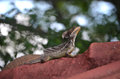 Jesus christ lizard a was posing on the roof trying to enjoy the sun Royalty Free Stock Images