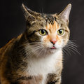 Jeune torbie kitten cat collant sa langue Image libre de droits