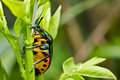 Jewel beetle in green nature Royalty Free Stock Photo