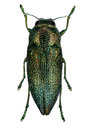 Jewel beetle Royalty Free Stock Photo