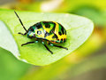 Jewel beetle on leaf in the garden Royalty Free Stock Photo
