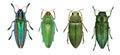 Jewel beetles Royalty Free Stock Photo