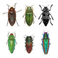 Jewel beetles Royalty Free Stock Photo