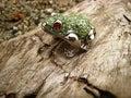 Jeweled frog on a log closeup climbing up Royalty Free Stock Photos