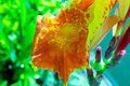 Jewelweed Royalty Free Stock Photo