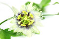 Jhumko Lata or Passion flower Stock Image