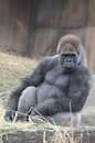Joe gorilla Stock Photography