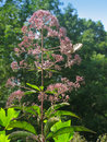 Joe Pye Weed Fotografia Stock