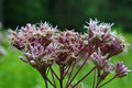 Joe Pye Weed Stock Image