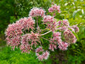 Joe Pye Weed Photos libres de droits