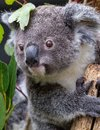 Baby koala grasping branch with two thumbs visible Royalty Free Stock Photo