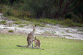 Joey and mummy kangaroo Royalty Free Stock Photo