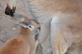 Joey and pouch a red kangaroo tries to fit in his mother s Royalty Free Stock Photo