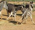 Jogo das zebras de áfrica do sul Fotos de Stock