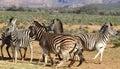 Jogo das zebras de áfrica do sul Fotografia de Stock