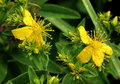 John's wort Stock Photography