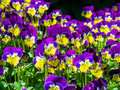 Johnny jump ups or viola flowers mass of purple and yellow also called miniature violets Royalty Free Stock Photo