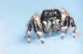 Johnson jumping spider noir Photographie stock libre de droits