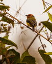 Johnson's Tody-flycatcher Royalty Free Stock Photo