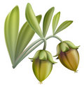 Jojoba fruit. Royalty Free Stock Images