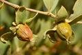 Jojoba seeds on tree
