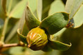 Jojoba seeds on tree