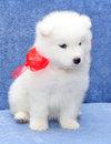 Joli chiot de Samoyed (ou Bjelkier) Photo libre de droits