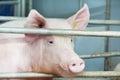 Jong varken in loods Royalty-vrije Stock Afbeeldingen