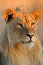 Jonge mannelijke leeuw Royalty-vrije Stock Afbeeldingen