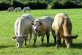 Jonge stieren in de weide Royalty-vrije Stock Afbeeldingen