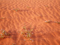 Jordan s wadi rum desert in bloom beautiful sand and flowers Stock Image