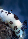 Jorunn punebris nudibanch papua new guinea a white nudibranch with black doily shaped patterns crawls along a coral reef in warm Stock Image