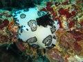 Jorunna funebris nudibranch or sea slug found on the wreck konanda in the bay of port vila vanuatu Royalty Free Stock Images