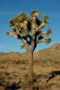Joshua Tree 1 Royalty Free Stock Photography
