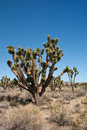 Joshua Tree Stock Image