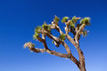 Joshua tree close up against blue sky national park california Royalty Free Stock Photos