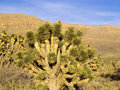 Joshua tree in desert landscape arizona usa Stock Photo