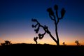 Joshua Tree at Dusk Royalty Free Stock Photos