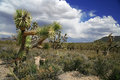 Joshua tree forest Royalty Free Stock Photo