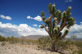 Joshua tree forest, Arizona,USA Royalty Free Stock Photo