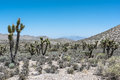 Joshua tree forest, Mount Charleston, Nevada Royalty Free Stock Photo